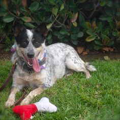 Cute Queenie is an adoptable Australian Cattle Dog (Blue Heeler) Dog in Burbank, CA. Pretty Queenie will make you fall in love in a heartbeat. She is super cute, smart as a whip, alert, active and a. Rescue Puppies, Australian Cattle Dog, In A Heartbeat, Super Cute, Make It Yourself, Pets, Animals, Fall, Blue