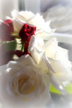 red and white roses ♡ Elena Rose