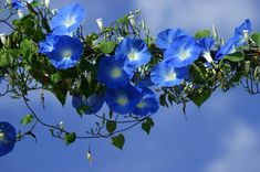 mijn lievelingsbloem.... de Winde