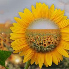Happy Flowers, My Flower, Yellow Flowers, Flower Power, Beautiful Flowers, Sun Flowers, Sunflower Family, Sunflower Garden, Sunflower Fields