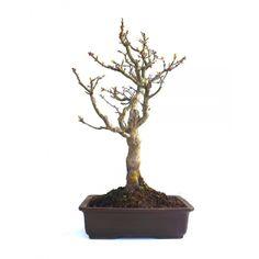 Acheter ce Superbe Bonsaï Acer Palmatum Shishigashira 47 cm importé du Japon chez votre Spécialiste du Bonsai en Ligne, Sankaly Bonsaï