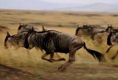 Der Serengeti-Nationalpark gehört mit seinen 14.763 Quadratkilometern zu den größten Nationalparks der Welt und ist eins der letzten noch intakten Migrationssysteme. Dort leben mehr als 1,5 Millionen Pflanzenfresser ...