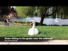 Swan sitting in the grass near the sidewalk - YouTube Swan, Grass, Sidewalk, Content, Music, Youtube, Movies, Musica, Swans