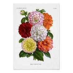 Dahlia botanical print