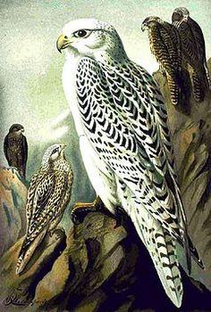 Falcão-gerifalte