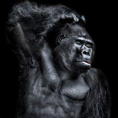 Gorilla, sexy calendar edition