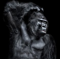 Powerful Gorilla