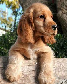 A puppy- Cocker Spaniel!
