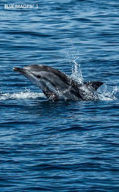 Whale & Dolphin Watching in Tarifa, Straits of Gibraltar: Whales & Dolphins, Tarifa, Striped dolphin. Walbeobachtung in der Strasse von Gibraltar vor der Küste von Tarifa.