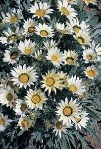 Pase Seeds - Gazania Talent Series White Annual Seeds, $3.99 (http://www.paseseeds.com/gazania-talent-series-white-annual-seeds/)