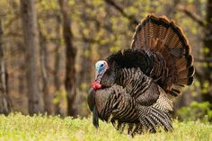 Strutting his stuff - Trying to entice females and ward of other males, this Tom turkey is fully puffed out and his head engorged.