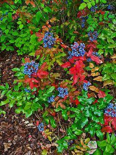 -Mahonia_aquifolium_  Common Name: Oregon Grape  Family: Berberidaceae  Synonyms: Berberis aquifolium.  http://informedfarmers.com/oregon-grape/