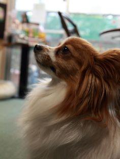 Papillon Dog - looks just like my little guy