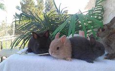 Holland Lop Rabbits - Netherland Dwarfs for Sale