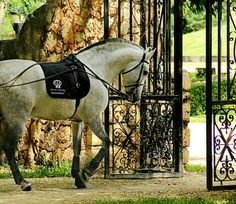 Time to go to work. Pura Raza Española stallion, Letrado. photo: Kathy JC.