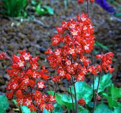 HEUCHERA: Vigorous and large flowered, these varieties make excellent border plants with their nearly evergreen foliage in neat clumps. Bright flowers are held aloft on airy stems in May through July.                                                                                                                                                                                 More