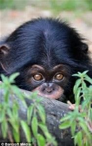 8 month old chimpanzee at the Oklahoma City Zoo