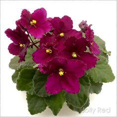 Jolly Red Perennial Flowering Plants, Herbaceous Perennials, Indoor Gardening, Indoor Plants, Saintpaulia, Sweet Violets, African Violet, Live Plants, My Flower