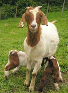 69 Best Milk Goats Images Farmhouse Goat Fence Goats