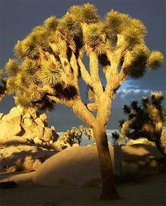Yucca Brevifolia Mojave 50 seeds Joshua Tree seeds super bloom -2019-