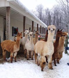 Winter Alpacas - my favorite kind!