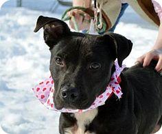 Media, PA - American Pit Bull Terrier Mix. Meet Jim Bo, a dog for adoption. http://www.adoptapet.com/pet/14828818-media-pennsylvania-american-pit-bull-terrier-mix