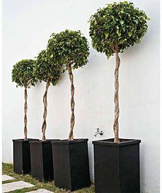 Os altos fícus com troncos trançados cobrem uma das paredes do jardim da fr...