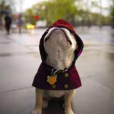 """""""That's rain I see up there; I'm sure of it"""", French Bulldog in the Rain. Puppies And Kitties, Cute Puppies, Cute Dogs, Doggies, Animals Beautiful, Cute Animals, Funny Animals, Boston Terrier Pug, Raining Cats And Dogs"""