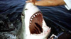 El #fotógrafo e ingeniero marino Klaus Jost Realiza increíbles #fotos junto a tiburones, en diversas partes del mundo.