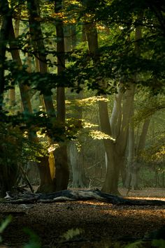 Sunset in Epping Forest, an ancient forest in the U.K. dating to Neolithic times