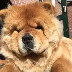 Selfie! #chowchow #chowlife #instachow #dogsofinstagram #dogoftheday #doglover #adorimals #cutedog #cutepuppyclub #lacyandpaws #animalsaddict #lion #fluffy #instapet #mydogiscutest #selfiesunday #selfie by chow_chow_moos