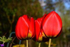 Me tulppaanit | Vesan viherpiperryskuvat – puutarha kukkii