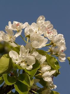 This is a Public Domain picture. apple, apple blossom, apple tree, flower