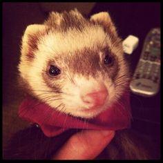 i just really like ferrets
