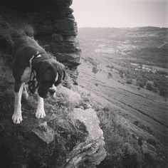 Max not so sure about the steep route #boxerdog #hiking...