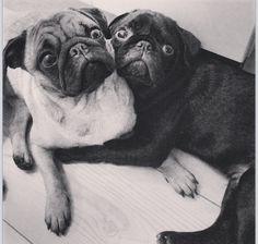 sweetest pugs