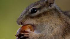 Esquilo de Hokaido