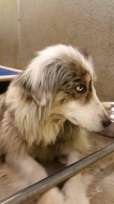 Meet Juno, a Petfinder adoptable Australian Shepherd Dog | Bolton, ON | Juno is beautiful female Australian Shepherd mix around 3 years old. She is sweet and loving. She...