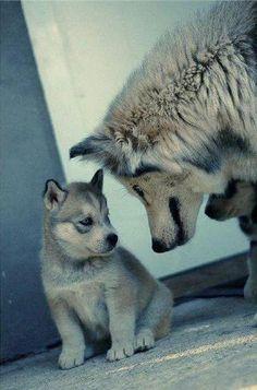 Siberian husky & pup