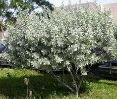 Conocarpus erectus var. sericeus