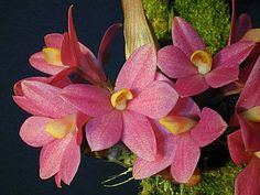 dendrobium laevvifolium culture | PLEASE USE YOUR BROWSERS BACK BUTTON TO REDEFINE YOUR SEARCH