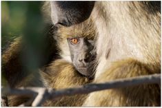 A young yellow baboon with its mother