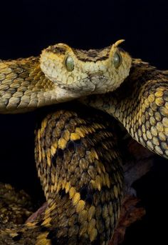 Atheris ceratophora is a venomous viper species endemic to a few mountain ranges in Tanzania. by AngiWallace Anaconda, Cute Reptiles, Reptiles And Amphibians, Beautiful Snakes, Animals Beautiful, Nature Animals, Animals And Pets, Serpent Animal, Cute Snake