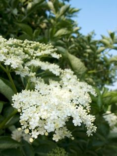 The American Elderberry plant is a native shrub, known for its delicious fruit. Make great jellies, pies or wine with our elderberry plants for sale today. Gardening Zones, Hydroponic Gardening, Organic Gardening, Elderberry Plant, Elderberry Recipes, Elderflower Champagne, Berry Plants, Refreshing Summer Drinks, Herbs For Health