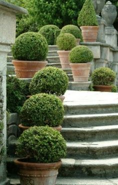 Boxwood in Terracotta Pots
