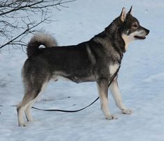 Jämthund / Jamthund / Swedish Elkhound #dogs