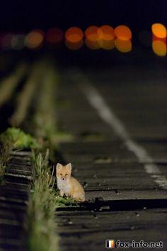 Red Fox Cub | fox-info.net - foxinfonet - fox_info_net