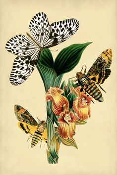 Wood nymph, butterfly, death's head moth, and flower. Vintage scientific illustration