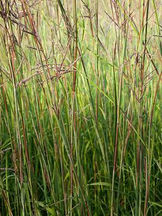In the spring, the foliage of Big Bluestem starts out blue-green, gradually turning green with hints of red and finally changing to reddish bronze in the fall. The plants grow well in moist or dry soils. Mexican Feather Grass, Feather Reed Grass, May Night Salvia, Blue Oat Grass, Blue Fescue, Fountain Grass, Ornamental Grasses, Tall Grasses, Perennial Grasses