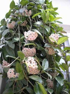 Flor de cera (Hoya carnosa) - benceno, TCE, tolueno, octano, terpeno.